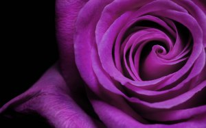 A-purple-rose-may-mean-enchantment-or-enthrallment-to-convey-love-at-first-sight